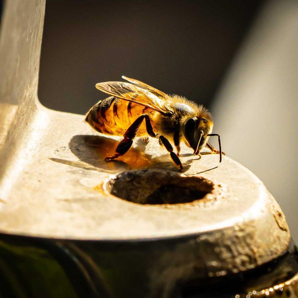 Honeybee on Water Fountain