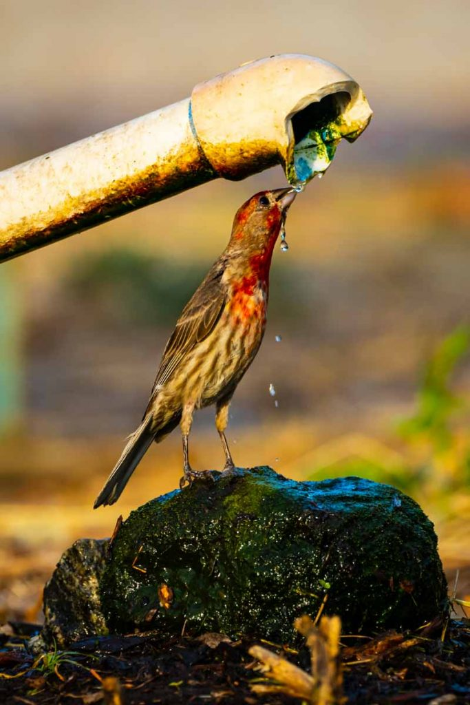 Thirsty Finch